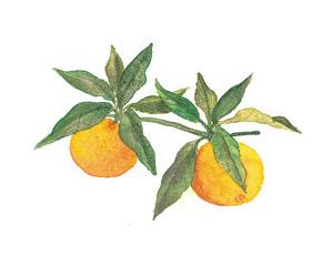 柚子萃取液