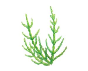珊瑚草萃取液